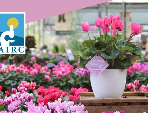 Ciclamino Rosa per AIRC a Il Germoglio Garden Center
